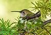 Broad-tailed hummingbird on nest, Estes Park, Colorado.  July 2017