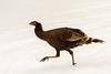 Wild Turkey, Estes Park, Colorado.  December 2014