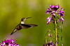 Hummingbird, Great Sand Dunes National Park, Colorado. August 2014