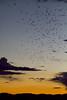 Bats from the Orient Mine bat roost near Saguache, Colorado. August 2014