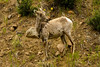 Bighorn Sheep, Idaho Springs, Colorado