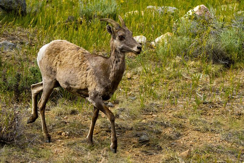 Bighorn Sheep, Idaho Springs, Colorado