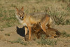 Swift Fox with pups nursing, Karval, Colorado.  May 2011