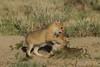 Swift Fox pups, Karval, Colorado.  May 2011
