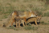 Swift Fox with pups, Karval, Colorado.  May 2011
