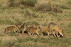 Swift Fox with 5 pups, Karval, Colorado.  May 2011