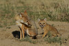 Swift Fox with pup, Karval, Colorado.  May 2011