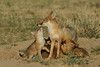 Swift Fox with pups nursing, Colorado