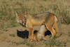Swift Fox with pup nursing, Colorado
