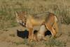 Swift Fox with pup nursing, Karval, Colorado.  May 2011