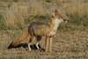 Swift Fox, Karval, Colorado.  May 2011