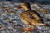 Mallard hen, Memorial Valley Park, Colorado Springs, Colorado. January 2010