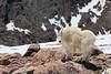 Mountain goat.  Mount Evans, Colorado.  June 2017