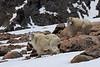 Mountain goats.  Mount Evans, Colorado.  June 2017