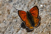 Butterfly, Mount Evans, Colorado.  July 2016
