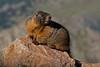 Yellow-bellied Marmot, Mount Evans, Colorado.  July 2016