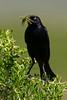 Brewer's Blackbird, Arapaho National Wildlife Refuge, North Park, Colorado.  June 2015