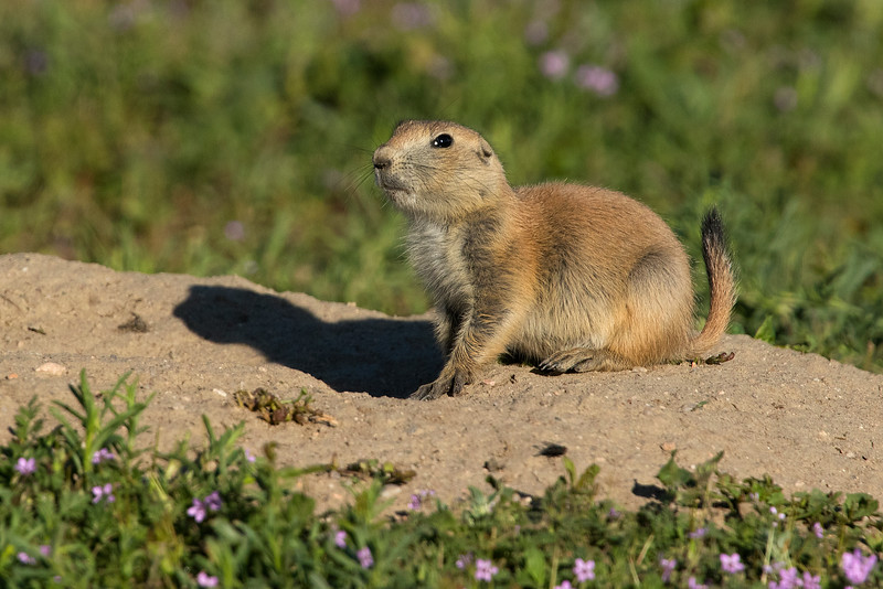 Black-tailed Prairie Dog, Parker, Colorado.  June 2016