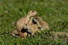Black-tailed Prairie Dogs, Parker, Colorado.  May 2016