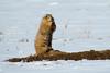 Black-tailed Prairie Dog, Parker, Colorado.  November 2015