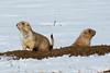 Black-tailed Prairie Dogs, Parker, Colorado.  November 2015