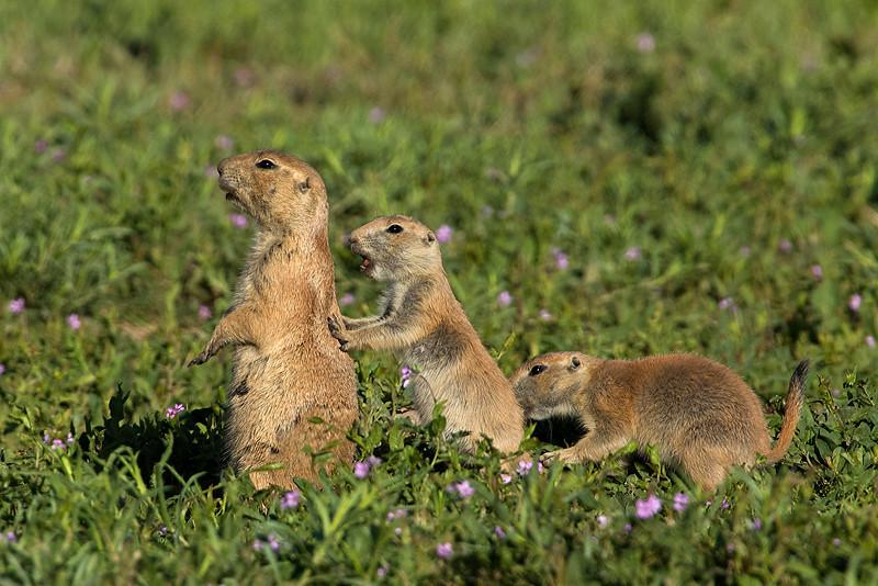 Black-tailed Prairie Dogs, Parker, Colorado.  June 2016
