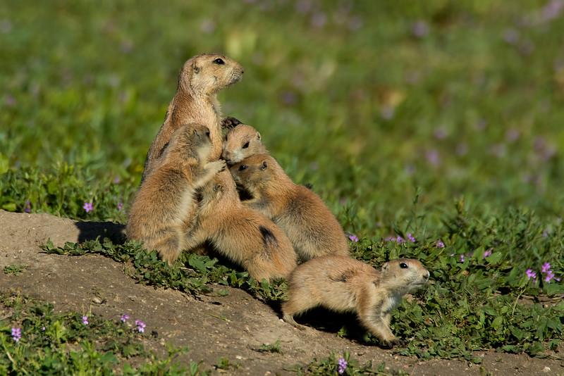 Black-tailed  Prairie Dogs, Parker, Colorado.  May 2016