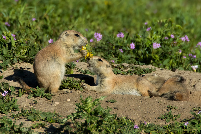 Black-tailed Prairie Dogs, Parker, Colorado.  June 2016