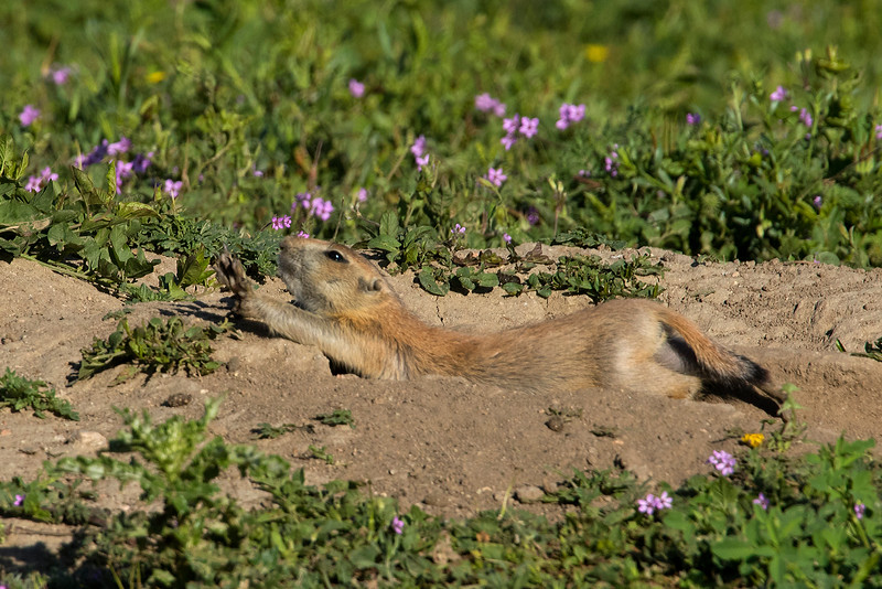 Black-tailed Prairie Dog, Parker, Colorado.  June 2016