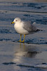 Ring-billed Gull, Prospect Park, Colorado