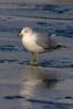 Ring-billed Gull, Prospect Park, Colorado