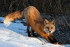 Red-tailed Fox, Prospect Park, Colorado. February 2009