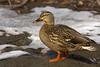 Mallard hen, Prospect Park, Colorado