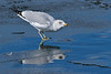 Ring-billed Gull drinking, Prospect Park, Colorado.  February 2018
