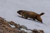 Yellow-bellied marmot.  RMNP, Colorado.  June 2017