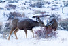 Mule Deer doe and fawn, Rocky Mountain National Park, Colorado.  December 2014