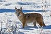 Coyote, Rocky Mountain National Park, Colorado.  November 2015