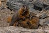 Yellow-bellied marmots.  RMNP, Colorado.  June 2017