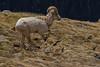 Bighorn sheep.  RMNP, Colorado.  June 2017