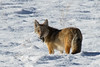 Coyote with prey, Rocky Mountain National Park, Colorado.  November 2015