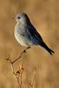 Blue Bird, Rocky Mountain National Park, Colorado.  September 2016