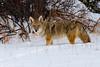 Coyote, Rocky Mountain National Park, Colorado.  December 2014