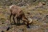 Bighorn sheep ram marking his territory.  RMNP, Colorado.  June 2017