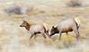 Elk, Rocky Mountain National Park, Colorado.  September 2016