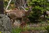 Mule deer with fawn.  RMNP, Colorado.  June 2017