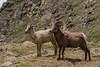 Bighorn sheep ram and ewe.  RMNP, Colorado.  June 2017