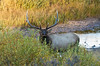 Bull Elk, Rocky Mountain National Park, Colorado.  September 2016