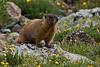 Yellow-bellied Marmot, Rocky Mountain National Park, Colorado.  July 2017