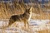Coyote, Rocky Mountain National Park, Colorado.  November 2013