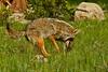 Coyote, Rocky Mountain National Park, Colorado.  June 2009